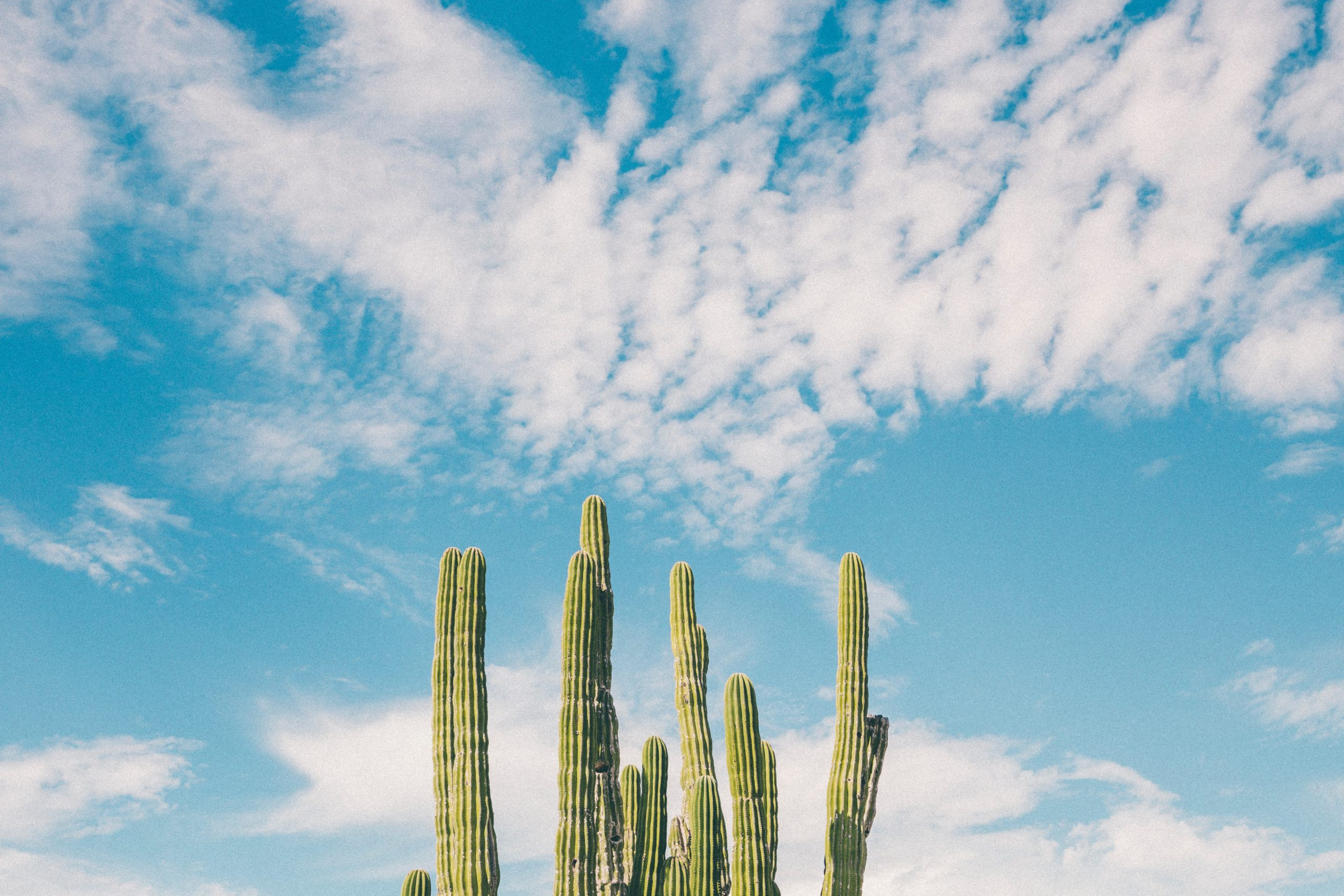 http://A%20bunch%20of%20cacti%20in%20front%20of%20a%20blue%20sky%20with%20clouds